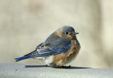 DSC05787 bluebird