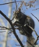 DSC08844 Way, way up in a sourwood tree