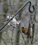DSC08895 Nuthatch and Bluebird