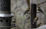 DSC09077_DxO Goldfinches