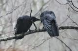 crow_love