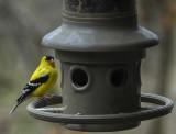 DSC09659 Male American Goldfinch