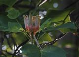 SRX00436 Tulip Poplar Blossom