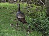 Up Close Turkey Poults