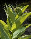 DSC07446 My volunteer milkweed plant