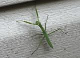 DSC07657_DxO half-grown praying mantis