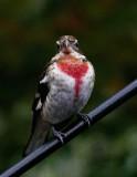 SRX00637D Juvenile Male Rose Breasted Grosbeak
