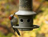 DSC02719D red bellied woodpecker