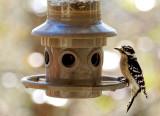 DSC03075D Male Downy Woodpecker