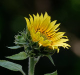 Sunflower Made It!