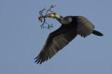 Great Cormorant / Aalscholver