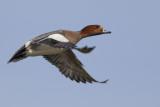 Eurasian Wigeon / Smient
