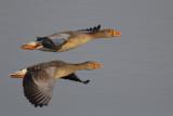 Greylag Geese / Grauwe Ganzen