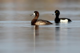 Greater Scaup / Topper