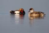 Red-headed Pochards / Krooneenden
