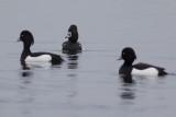 Ring-necked Duck / Ringsnaveleend