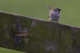 Tree Sparrow / Ringmus