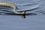 Grass Snake / Ringslang