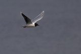 Little Gull / Dwergmeeuw