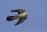 Common Cuckoo / Koekoek