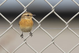 Whinchat / Paapje
