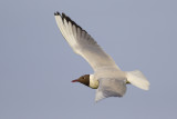 Black-headed Gull / Kokmeeuw
