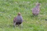 Grey Partridges / Patrijzen