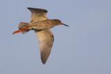 Common Redshank / Tureluur