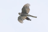 Eurasian Sparrowhawk with caught Chaffinch / Sperwer met Vink als prooi