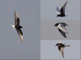 White-winged Black Tern / Witvleugelstern