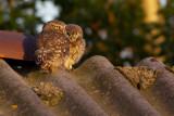 Little Owls / Steenuilen
