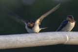 Barn Swallow / Boerenzwaluw