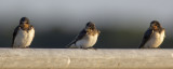 Barn Swallows / Boerenzwaluwen