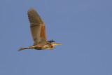 Purple Heron / Purperreiger
