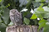 Little Owl / Steenuil