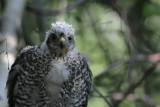 Eurasian Sparrowhawk / Sperwer