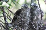 Eurasian Sparrowhawks / Sperwers