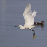 Little Egret / Kleine Zilverreiger