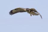 Common Buzzard / Buizerd