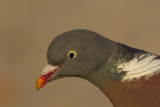 Common Wood Pigeon / Houtduif