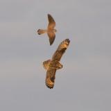 Short-eared Owl with Common Kestrel / Velduil met Torenvalk