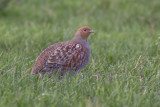 Grey Partridge / Patrijs