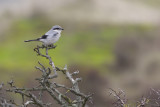 Great Grey Shrike / Klapekster