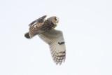 Long-eared owl / Ransuil