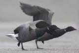 Brant Geese / Rotganzen