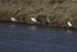 Little Egrets / Kleine Zilverreigers