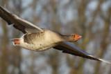 Greylag Goose / Grauwe Gans