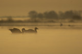 Greylag Geese in early light / Grauwe Ganzen in vroeg ochtendlicht