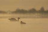 Greylag Goose in early light / Grauwe Gans in vroeg ochtendlicht