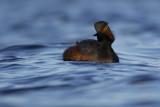 Black-necked Grebe / Geoorde Fuut